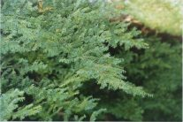 Needles on evergreen trees of the taiga are thin and wax-covered. They do not fall off in the fall.