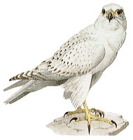 http://www.mbgnet.net/sets/tundra/animals/gyr.jpg